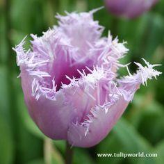 'Blue Heron Fringed Tulip'