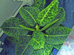Dieffenbachia beautiful leaves very poisonous. Plants Are Friends, Plant Wall, Planting Flowers, Flower Gardening, Houseplants, Bellisima, Garden Plants, Plant Leaves, Modern Design
