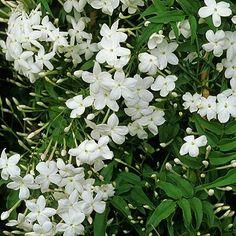 Jasmine Jasminum polyanthum