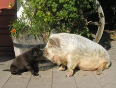 Kune Kune pig kissing a puppy. Come on.
