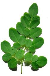 What is Moringa - Benefits, Facts & Research | Moringa Source.