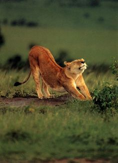 Even the queen of the jungle needs a stretch once in a while!
