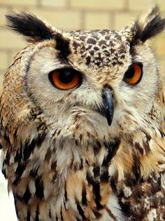 "Photo ""MrOwl"" by Judoon101 Owl, Bird, Animals, Animales, Animaux, Owls, Birds, Animal, Animais"