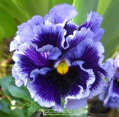 Photo of the bloom of Pansy (Viola x wittrockiana 'Frizzle Sizzle Mix') Exotic Flowers, My Flower, Purple Flowers, Flower Art, Wild Flowers, Beautiful Flowers, Art Floral, Bloom, Flower Photos