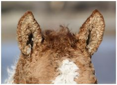 Look at those curly, wooly ears!:  American Bashkir Curly Horses at Stag Creek Farm
