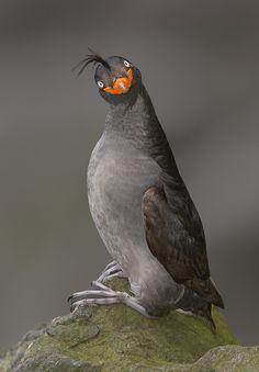 Crested Auklet (Aethia cristatella)