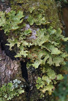 lichen growing on tree bark --fixes nitrogen,  a role in forest health Lobaria pulmonaria