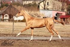 Akhal-teke horses for sale - Sakhab(Somah-Geli - Melegezel)