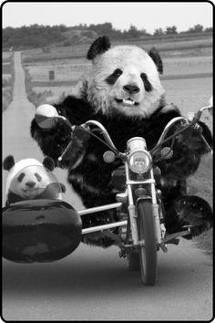 Pandamonium on the roads!
