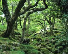 That's Wistman's Wood, Dartmoor -- the most haunted place in England, as I can attest. Details on the attached website -- if you dare.
