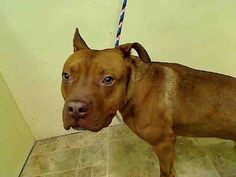 GONE 2/5/2015 --- Manhattan Center TIMBERLAND – A1033106  NEUTERED MALE, TAN / WHITE, PIT BULL MIX, 2 yrs STRAY – ONHOLDHERE, HOLD FOR ID Reason STRAY Intake condition UNSPECIFIE Intake Date 04/13/2015