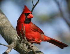 Cardinal . . . vision in red