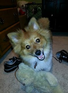 Poshie pup