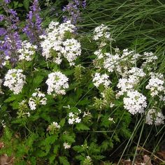 Verbena 'Snowflurry' is a gorgeous perennial groundcover that just keeps flowering from spring until the first frosts. The heads of pure-white blooms area real