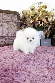 teacup Pomeranian are my favorite kind dog