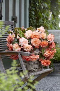 Try these apricot begonias from Longfield Gardens