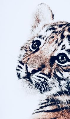 Tiger nursery print Tiger nursery print Tiger nursery print animal animals background iphone wallpaper wallpaper iphone you didn't know existed planet animal drawings and white animal photography animals baby animals animals animals Cute Creatures, Beautiful Creatures, Animals Beautiful, Majestic Animals, Cute Puppies, Cute Dogs, Cute Babies, Babies Pics, Puppies Puppies