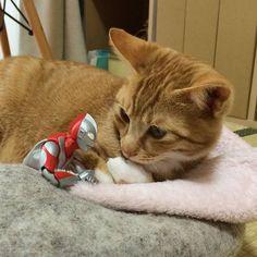 Kitten, Ultraman; Japan