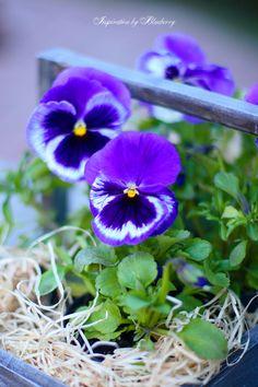 Blueberry: I Love Spring ♥