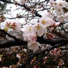 【nasakura.japan】さんのInstagramをピンしています。 《【コシノヒガン(越の彼岸):日本の桜シリーズ⑰】 エドヒガンとキンキマメザクラの種間雑種と考えられる栽培品種です。 富山県城端町に自生地が残されていて、ここから移植された樹が富山県高岡市の高岡城にありますし、長野県伊那市の高遠城址公園にある「タカトウコヒガン」もこのタイプです。 花が「ソメイヨシノ」に似た大型で美しい系統のものが、各地で植えられているようです。 🌸  Japanese Beauty in Daily Life ♡日本の日常の美を伝える #640  奈奈より♡ Photo : Webサイトより コシノヒガン ☆.。.:*・°☆.。.:*・°☆.。.:*・°☆.。.:*・°☆ ★奈桜 NasakuraのFacebookページです。 日本を代表する花<桜>をテーマに美容液をつくりました。 「いいね」いただけましたら嬉しいです。 ⇒ https://www.facebook.com/nasakura39/ ★来年から「ソーシャルコマース勉強会」を始めます。 ご興味のある方はお問合せください。…