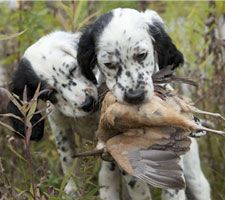 faa6416871 English Setter Pup Sibling Rivalry ... mine! English Setter Puppies