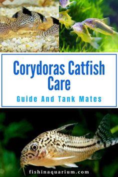 Cory Catfish, Catfish Recipes, Tropical Freshwater Fish, Small Fish, Fish Tanks, Cichlids, Swimmers, Aquariums, Fresh Water