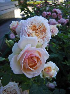 'Charles de Nervaux' | Shrub Rose. Massad 2007