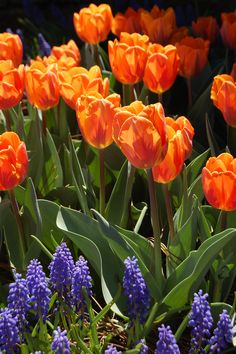 Yew Dell Gardens 6220 Old LaGrange Road Crestwood, KY 40014 Tulip 'Princess Irene' and Grape Hyacinth