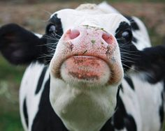 In your face! Cow Nose, Farm Animals, Cute Animals, Country Critters, Fluffy Cows, Cow Pictures, Cow Photos, Animal Noses, Cute Cows