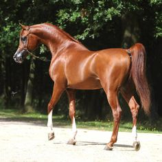 Abha Qatar )*Marwan Al Shaqab x ZT Ludjkalba) 2007 chestnut stallion bred by Ses Planes Stud