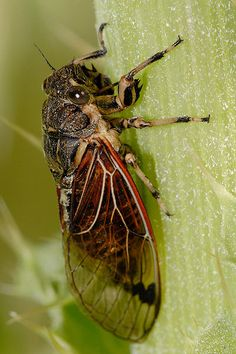 "Australian Cicada  File:Diemeniana frenchi.jpg  ""Fir0002/Flagstaffotos"""