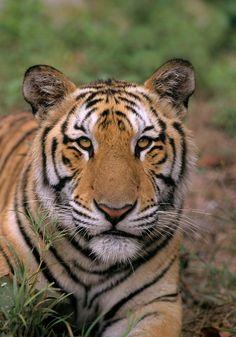 Male Indo-Chinese tiger (Panthera tigris corbetti). Rescued as cub from wildlife trade. Phnom Tamao Wildlife Rescue Centre, Cambodia