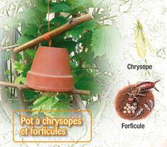 Contre les pucerons, un abri pour les chrysopes - » Accrochez par le fond, au tronc d'un arbuste infesté de pucerons, un pot rempli de paille ou de papier froissé. Il sera un lieu idéal pour les forficules (perce-oreilles) et chrysopes (« mouches» aux yeux d'or), prédateurs de ces suceurs de sève. La larve du chrysope, très discrète, dévore 60 à 100 pucerons par jour et en deux semaines 10 000 oeufs d'acariens.