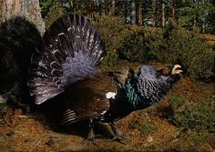Capercaillie by Jonathan Pointer