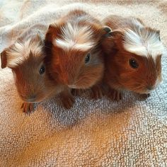 The Daily Guinea Pig