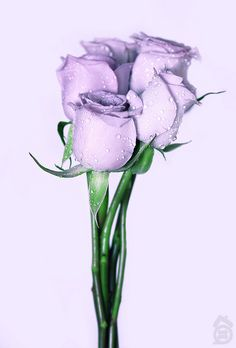 beautiful - lavendar roses