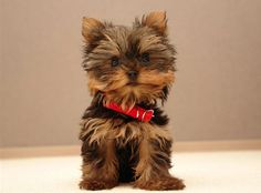 yorkshire-terrier-1.png (543×402)
