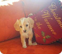 Chalfont, PA - Chihuahua/Cocker Spaniel Mix. Meet Fiona, a puppy for adoption. http://www.adoptapet.com/pet/12219131-chalfont-pennsylvania-chihuahua-mix