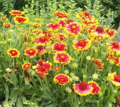 drought resistant perinnials for Illinois | Gaillardia aristata .. Blanket Flower seed packet .. Lovely Perennial ...