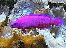 Fridmani Pseudochromis, also known as Fridman's Dottyback