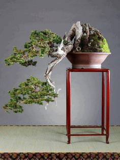 bonsai, If you like this item, Please Click www.shopprice.co.nz :More At FOSTERGINGER @ Pinterest