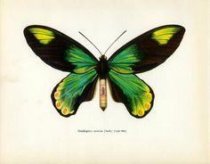 Vintage Butterfly Print, Queen Victoria's Birdwing Male (47) Prochazka, 1964, Lepidoptera, Frameable Art