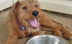 Macksie the Irish Terrier