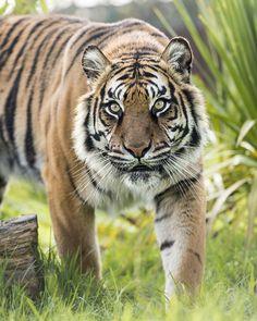 Amur Tiger ~ Colin Langford on 500px