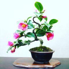 いいね!380件、コメント3件 ― Fukujuenさん(@bonsai_fukujuen)のInstagramアカウント: 「椿(秋雪) Camellia japonica #bonsai #japan #盆栽 #小品盆栽 秋に咲く早咲きの椿です。」