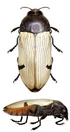 Castiarina ochrieventris