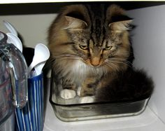 wet maine coon cat - Google Search