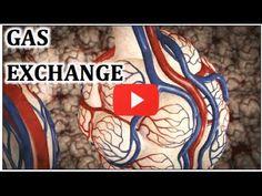 Gaseous exchange between alveoli and capillaries - YouTube