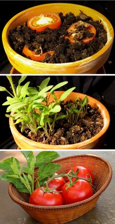 Growing Tomatoes Tips How to grow tomatoes indoors in a pot from seedling. Your daily indoor gardening tip - grow tomatoes by placing slices on a potting garden mix and watch it germinate within 7 days! Growing Tomatoes Indoors, Growing Tomatoes From Seed, Growing Tomato Plants, Growing Tomatoes In Containers, Growing Vegetables, How To Grow Tomatoes, Baby Tomatoes, Green Tomatoes, Cherry Tomatoes