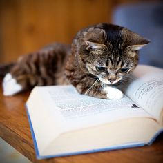 Look at this cat!! Let's just all stop and admire this cat reading a book.... You may proceed